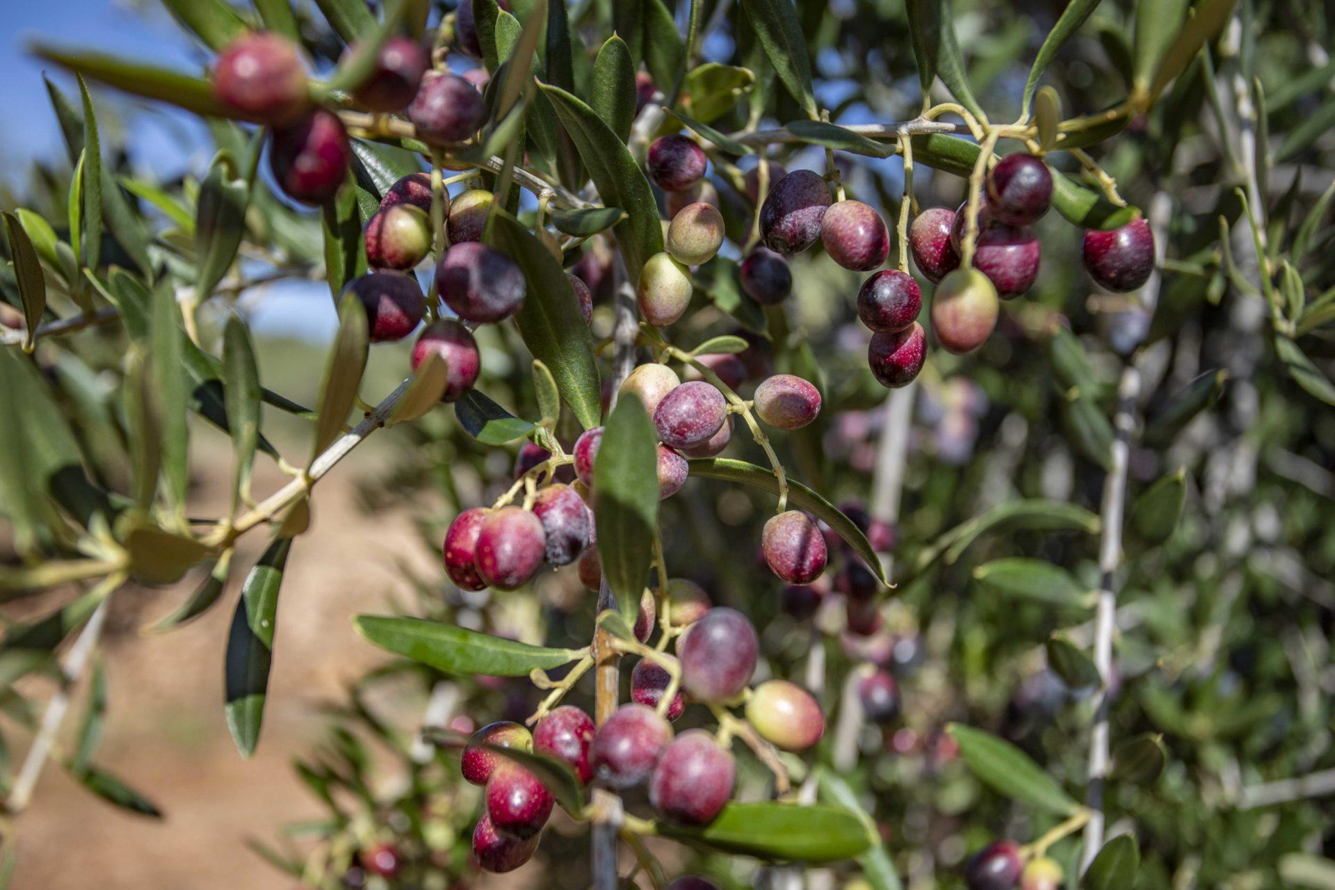 oliva arbequina
